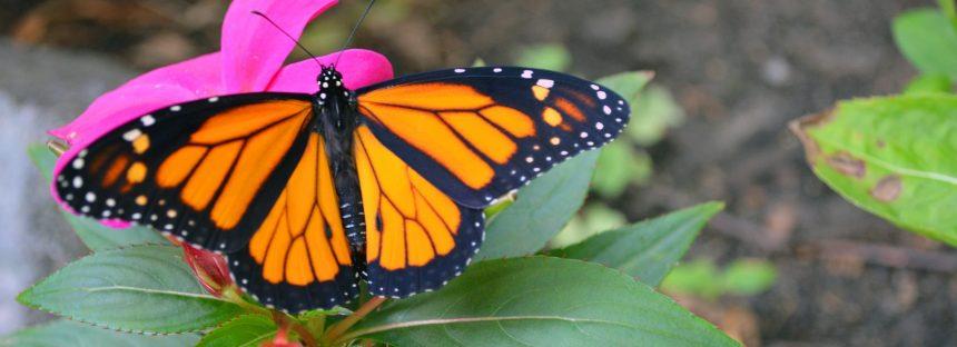Realizarán película documental para proteger a la Mariposa Monarca