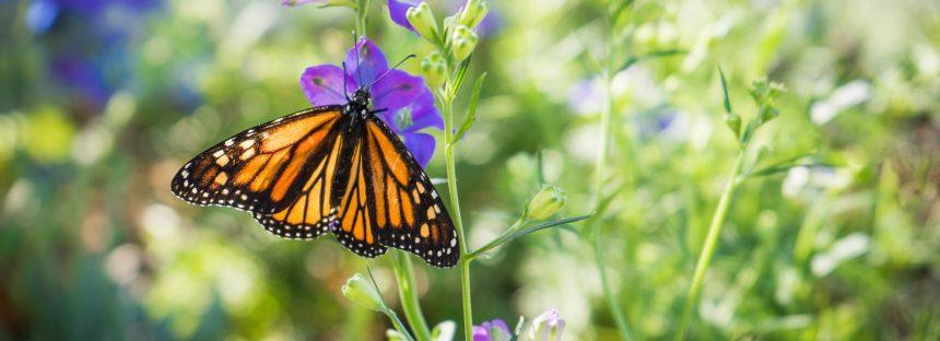 Se diseñará plan integral para rescatar la Reserva de la Biósfera Mariposa Monarca
