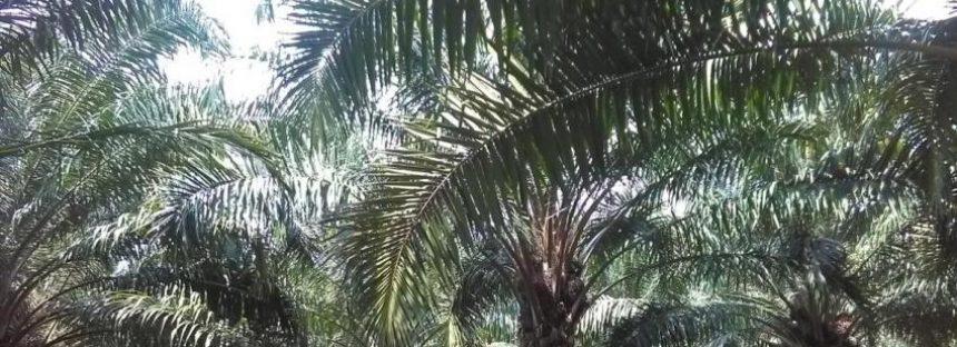 Avances en el desarrollo de criterios de sustentabilidad para el cultivo de palma de aceite