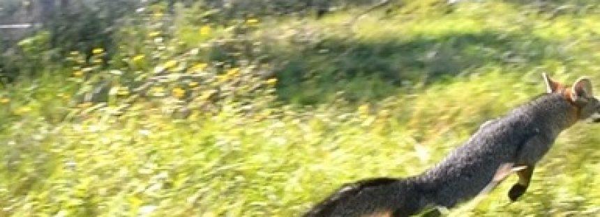 Zorro gris es integrado a su hábitat