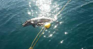 Atienden el varamiento de un delfín en playas de Puerto Vallarta