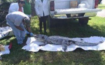 Rescatan una lechuza y a cocodrilo en Quintana Roo