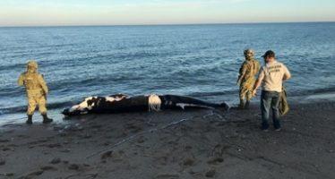 Cría de ballena rorcual tropical fue encontrada muerta en Baja California