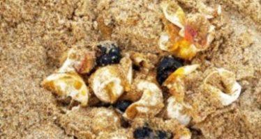 Interponen denuncia penal por destrucción de nido de tortuga marina y 18 huevos con embrión