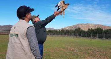 5 aves rapaces son rescatas y reintegradas a su hábitat