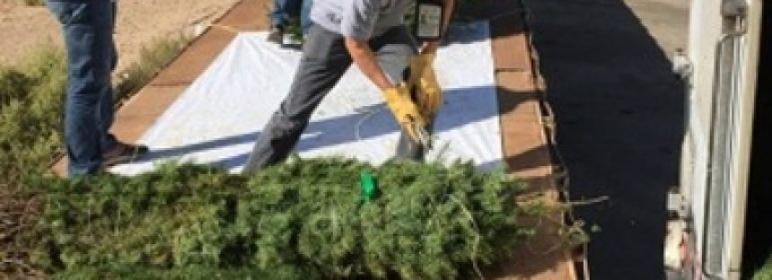 Impiden ingreso de 7 mil 205 árboles de navidad con plaga provenientes de Estados Unidos