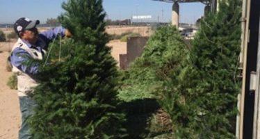 Concluye programa de verificación e inspección de árboles de navidad importados