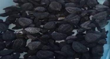 Rescatan 69 ejemplares de vida silvestre; son liberados en mar y zona serrana de Sinaloa