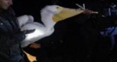 Rescatan nueve pelícanos blancos; tras atenderlos fueron reincorporados a su ruta migratoria