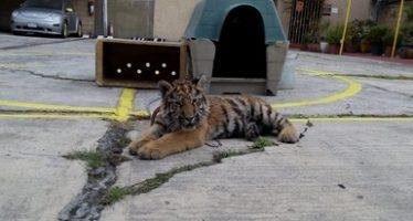 Aseguran a tigre siberiano en restaurante de Iztapalapa