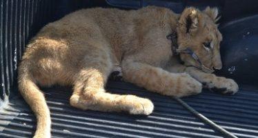 Rescatan cachorro de león que se encontraba herido
