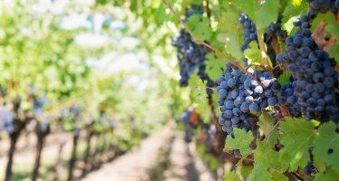 El vino se prepara para sobrevivir al cambio climático