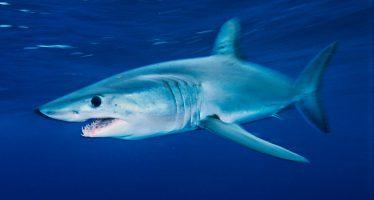 España y Japón se alían en defensa de la pesca del tiburón marrajo