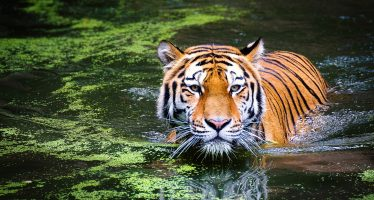 Programa Tigre de la UICN extendido hasta 2023
