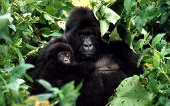 Aumenta la población de gorilas de montaña gracias a los conservacionistas
