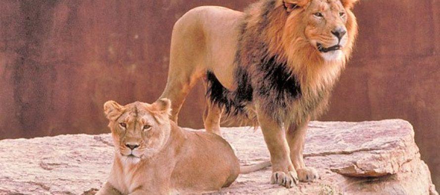 La esperanza de la subespecie de león asiático amenazada de extinción