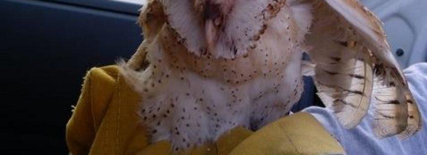 Reintegran un ejemplar de Lechuza de campanario a su hábitat natural
