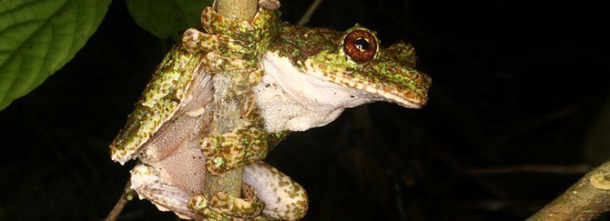 El canto de la rana arborícola, especie en peligro de extinción