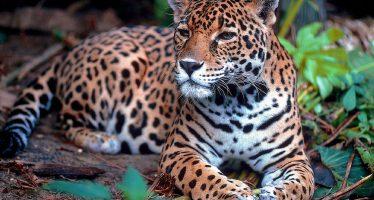 Crecen las esperanzas para el jaguar con nuevo parque nacional en Argentina