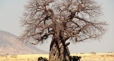 Baobab, el árbol que podría desaparecer del paisaje de Madagascar durante el próximo lustro