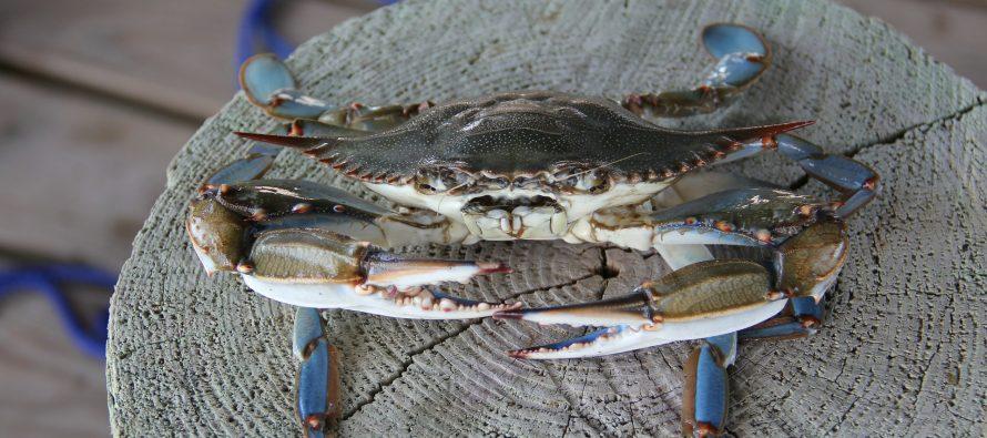 Alerta sobre la expansión descontrolada de cangrejo azul americano