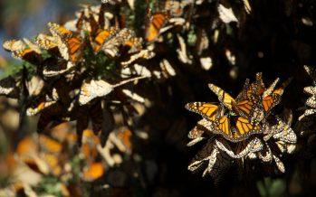 Aumenta la presencia de la mariposa monarca en un 144% en los bosques mexicanos
