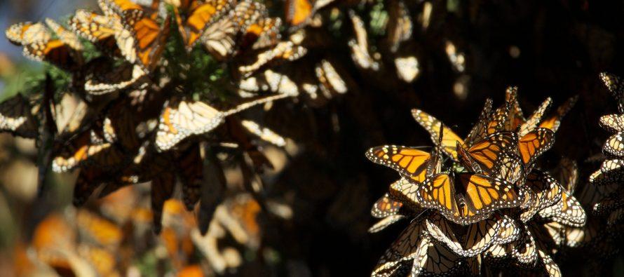 Los bosques de oyamel y pino reciben la visita de la Monarca