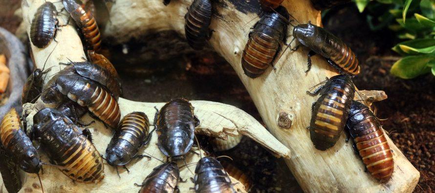 El negocio de las cucarachas
