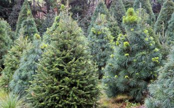 Invitan a confinar los árboles de Navidad natural para convertirlos en composta