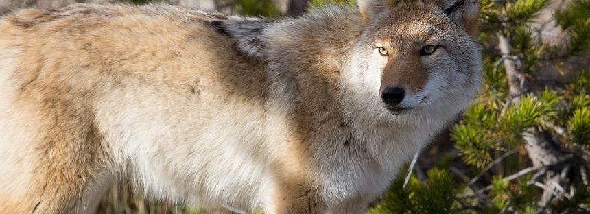 Primeros registros de coyote (Canis latrans) en Campeche, México