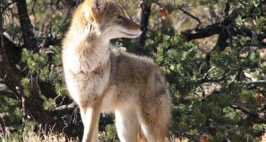 Distribución del coyote (Canis latrans) en el continente americano