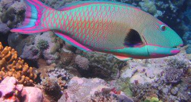 Los Scaridae, es una familia con diferentes especies de organismos conocidos como peces loro que roen arrecifes coralinos