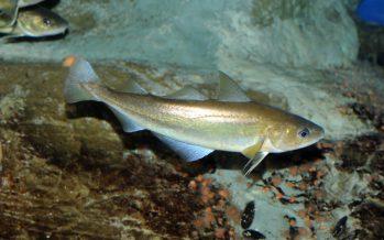 Apoya México la pesca comercial de merluza (Merluccius productus) en noroeste del país