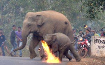 Aldeanos lastiman con bolas de fuego a elefantes por daño a sus cosechas
