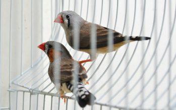 Europa pide a España el cese de la captura de aves silvestres para el canto