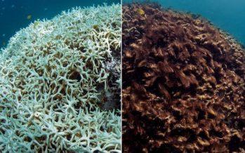 El destino de los arrecifes de coral pende de un hilo