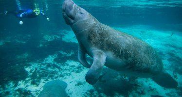 En marcha estrategia integral para proteger y mejorar el hábitat de los manatíes