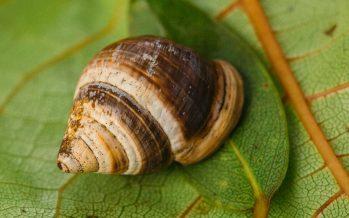 George el caracol, el último y el más solitario de su especie, muere