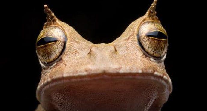 Reaparece una rana marsupial cornuda que se creía extinta