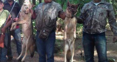 Por dar muerte a dos coyotes (Canis latrans), regidor de Áporo, Michoacán es denunciado en Facebook