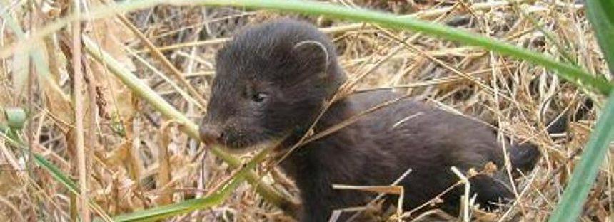 La CE urge a España a proteger el medio ambiente de especies exóticas invasoras