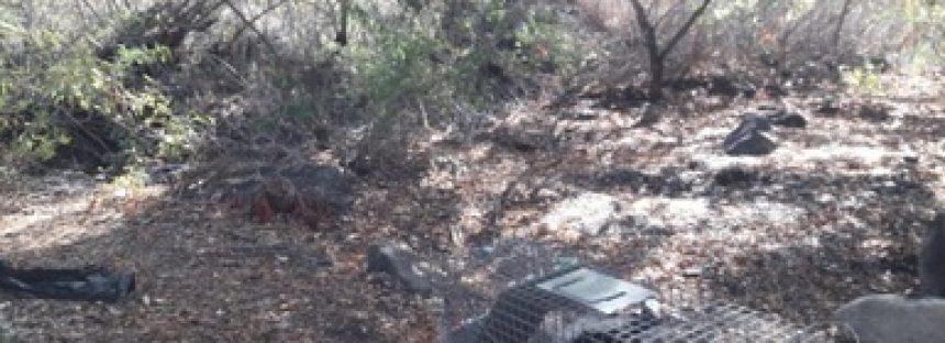 Rescatan y liberan dos ejemplares de zorrillo listado norteño (Mephitis mephitis), capturados en un hotel de Ensenada, BC