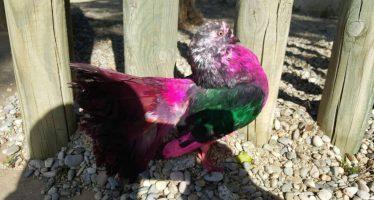 Decomisan una paloma mutilada y teñida usada como reclamo turístico