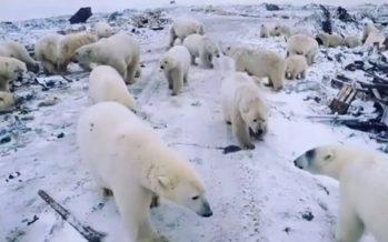 Osos polares buscan alimento a medida que el hielo disminuye