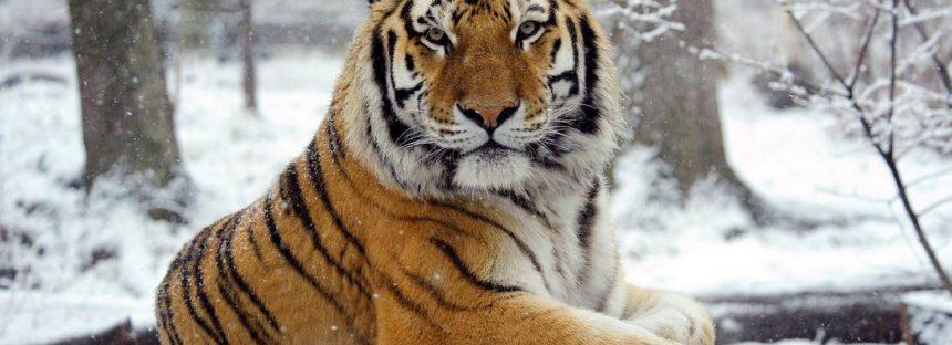 Las ciudades pueden salvar al tigre