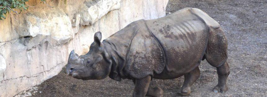 """""""Tarun"""", un rinoceronte indio para formar familia en Benidorm"""