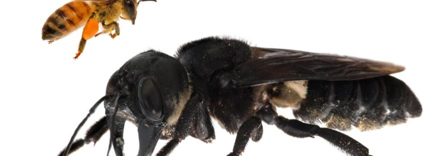 La abeja más grande del mundo, desaparecida durante 38 años, se encuentra en Indonesia