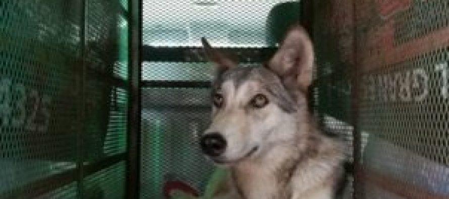 Trasladan a híbrido de perro lobo a centro para la conservación e investigación de vida silvestre