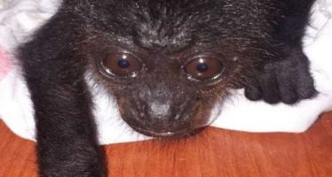 Cría de mono aullador es rescatada en Tabasco