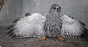 Atienden a dos aves silvestres heridas
